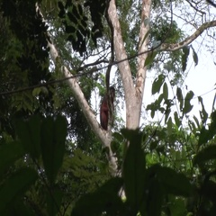 Western Red Colobus sitting up in the canopy looking around in the afternoon Stock Footage