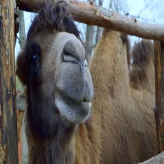 Close-up of head Bactrian camel Stock Footage