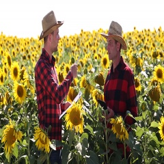 Farmers Talking About Sunflower Cultivated Field and Walking Towards Horizon Stock Footage