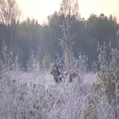 Stag deer walking in frosty autumn morning light England Stock Footage