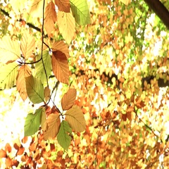 Autumn leaves moving on a tree. Autumn background Stock Footage