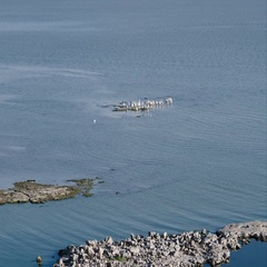 Flying over group of pelicans in lake Stock Footage