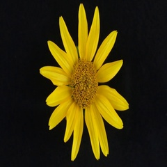 Slow rotation of a yellow flower on a black background Stock Footage