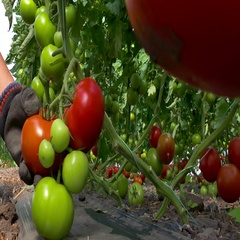 Picking organically-grown tomatoes Stock Footage