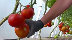 Organically-grown tomatoes Stock Footage