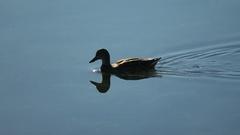 Duck follow shot, clear blue reflection Stock Footage