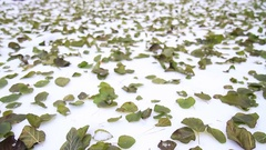 Early winter green leaves lying on the snow Stock Footage