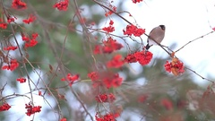 Bullfinch female sitting on mountain ash berries Stock Footage