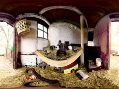 360 Degree Video, Guinea Pigs Playing in Barn Stock Footage