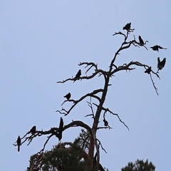 Crows and rooks sit overnight on a dry tree Stock Footage