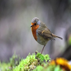 Robin jumps on green moss Stock Footage