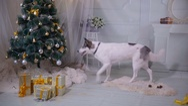 Husky dog tasting christmas tree. Funny christmas situation Stock Footage