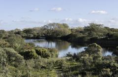 White swan swimming in pond in dutch nature near wassenaar dunes Stock Photos