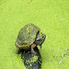 Turtle on rock in bog. Stock Footage
