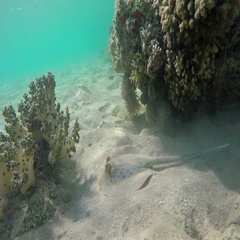 Blue Spotted stingray (Taeniura lymma), 4k Stock Footage