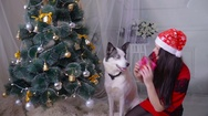 A girl giving a gift to her husky dog near christmas tree during new year Stock Footage