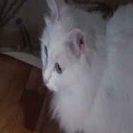 White cat with different colored eyes Stock Footage