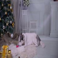 Dog unpacks a gift near near christmas Decorations during New year celebration Stock Footage