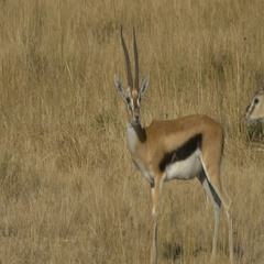 A thompson's gazelle buck grooming in masai mara Stock Footage