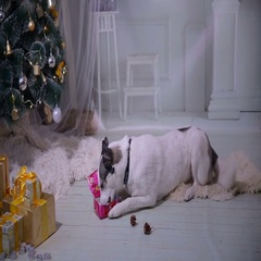 Dog playing with new year gift near christmas tree Stock Footage