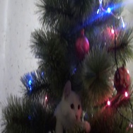 White cat plays on a Christmas tree Stock Footage