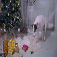 Siberian husky opening gift near xmas christmas tree Stock Footage