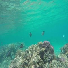 Sohal surgeonfish (Acanthurus sohal) on coral reef Stock Footage