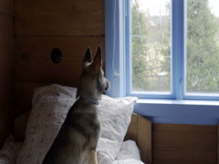 Small dog looking out the window, dolly slow motion Stock Footage