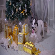 Adorable husky dog near New year tree, guards Christmas presents Stock Footage
