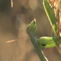 Insect European Mantis religiosa manodea mantidae macro 4k Stock Footage
