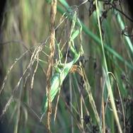 Insect macro European Mantis religiosa sits on grass 4k Stock Footage