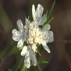 White flower in drops of dew large in forest on field in garden macro 4k Stock Footage