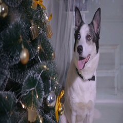 Dog in the christmas decoration of the interior. Pet lies near christmas tree in Stock Footage