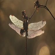 Dragonfly in dew sitting on dry flower in early morning macro Stock Footage