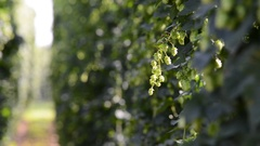 Hop field before the harvest. Stock Footage