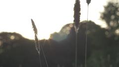 Grass Seeds in Sunlight Stock Footage