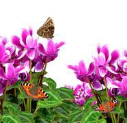 Pink flower cyclamen with butterflies Stock Photos