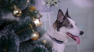 Adorable husky dog near New year tree, guards Christmas presents. Close up Stock Footage
