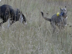 DOGS CHASING ANOTHER DOG WITH A TOY SLOW MOTION Stock Footage