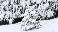 Snow covered trees in the wind Stock Footage