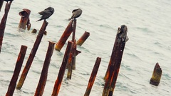 Cormorants sits on the ruined pier Stock Footage