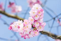 Blossoming season with pink cherry blossoms Stock Photos