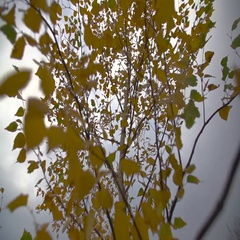 Flight of the Camera Through Yellow Leaves of a Tree in the Fall Stock Footage