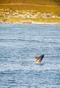 Hermanus Whale Watching Season  Stock Photos