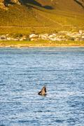 Hermanus Whale Watching Season  Stock Photos