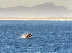 Southern Right Whale Breaches Stock Photos
