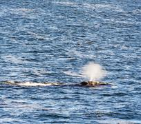 Southern Right Whale Water Spout Stock Photos