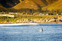 Whale Tail at Hermanus South Africa  Stock Photos