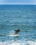 Southern Right Whale Jumping  Stock Photos