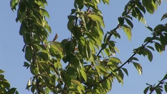 Young fruit tree - cherry Stock Footage